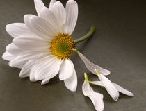 Emotional Daisy. Stock photo of a gerber daisy with loose petals Royalty Free Stock Photos