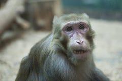 Emotional expression face of monkey.  stock image