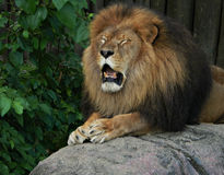 Emotional Lion. An African Lion who appears as if he had his feelings hurt & is crying Stock Image