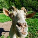 Emotional portrait of horned goat Royalty Free Stock Photo