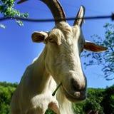 Emotional portrait of horned goat Royalty Free Stock Photos