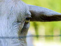 Emotional portrait of horned goat Royalty Free Stock Images