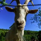 Emotional portrait of horned goat Stock Photos
