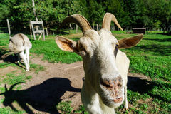 Emotional portrait of horned goat Stock Photography