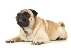 Emotional Pug Close-up Stock Photos