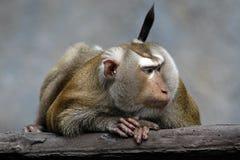 Emotional rührendes Porträt eines schönen Affen Lizenzfreie Stockfotos