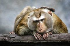 Emotional rührendes Porträt eines schönen Affen Lizenzfreies Stockbild