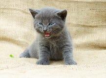 Emotionales graues Kätzchen Lizenzfreie Stockbilder