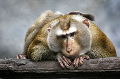 Emotionally touching portrait of a beautiful monkey Royalty Free Stock Image