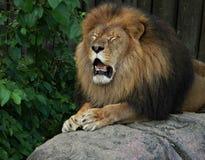 Emotionellt lejon Fotografering för Bildbyråer