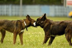 Emotions of animals.Two young dogs are friends. Interaction between dogs. Behavioral aspects of animals. stock photo