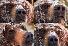 Emotions collage of brown bear muzzle in snow. Curious, angry, proud and wily look of an animal. focus on eyes or nose royalty free stock photo