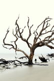 Emotive image of trees,stripped bare from the elements,DriftWood Beach,Jekyll Island,2015 Stock Photo