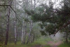 Empáñese en la arboleda del abedul en el bosque Foto de archivo