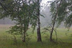 Empáñese en la arboleda del abedul en el bosque Fotos de archivo