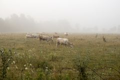 Empáñese sobre una granja de ganado mientras que las vacas pastan en niebla de la mañana Fotos de archivo