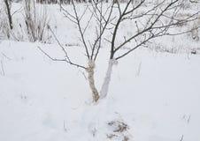 Empêchement des dommages d'hiver aux arbres Arbres fruitiers protecteurs des dommages animaux Arbres fruitiers protecteurs en hiv image libre de droits