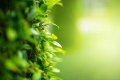 Empañado de hojas verdes, fondo natural imágenes de archivo libres de regalías