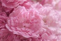 Empañado de la floración de las flores de Rose en el estilo del color en colores pastel para el fondo Imagenes de archivo