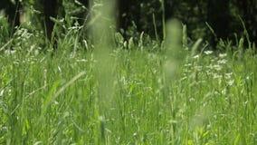 Empañe la alta hierba verde que se sacude en el viento almacen de metraje de vídeo