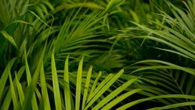 Empañe la hoja de palma verde tropical con la luz del sol, fondo natural abstracto con el bokeh Follaje enorme Defocused almacen de video