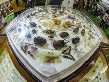 Empaillage de papillons et d'insectes dans une boîte en verre d'hexagone montrant à une exposition d'entomologie images stock