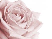 Empalideça - a cor-de-rosa levantou-se Fotografia de Stock
