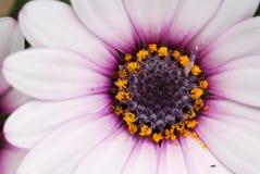 Empalideça - a flor cor-de-rosa do Cineraria Foto de Stock