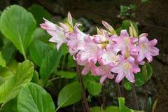 Empalideça - a flor cor-de-rosa e branca do lírio de beladona & do x28; Lírio do jérsei, Nake Fotografia de Stock