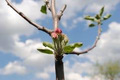Empalideça - flores cor-de-rosa de árvores de maçã em um dia ensolarado em maio imagens de stock royalty free