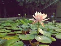 Empalideça - flores de Lotus cor-de-rosa na superfície da lagoa Imagens de Stock Royalty Free
