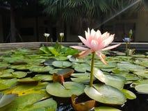 Empalideça - flores de Lotus cor-de-rosa na superfície da lagoa Foto de Stock