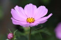 Empalideça - o cosmos cor-de-rosa Imagens de Stock