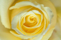 Empalideça - o fundo da rosa do amarelo Fotografia de Stock Royalty Free