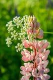empalideça - o lupine cor-de-rosa Imagem de Stock