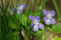 Empalideça o reichenbachiana da viola da violeta de madeira em uma natureza Imagem de Stock