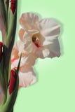 Empalideça - o tipo de flor cor-de-rosa Fotos de Stock Royalty Free