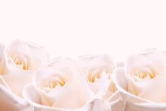 Empalideça - rosas cor-de-rosa. imagens de stock royalty free