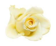 Empalideça - a rosa do amarelo isolada Fotos de Stock Royalty Free