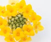 Empapele las floraciones del arbusto, macro foto de archivo