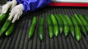 Empaquetadora para el pepino en la fábrica metrajes