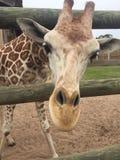 Empar?jese de jirafas en una pluma de madera que es alimentada lechuga con la cabeza que se acerca a la gran naturaleza de la c?m fotografía de archivo