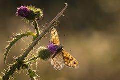 Emparede la mariposa de Brown (megera de Lasiommata) que alimenta en las flores Imagen de archivo libre de regalías