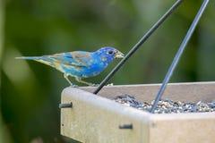 Empavesado de añil en un alimentador del pájaro Fotos de archivo libres de regalías