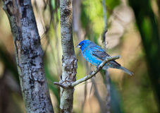 Empavesado de añil, pájaro cantante colorido, en el salvaje Imagen de archivo