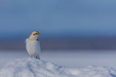 Empavesado de nieve Fotografía de archivo
