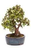 Empequeneça a planta do jade como a árvore dos bonsais Fotos de Stock Royalty Free