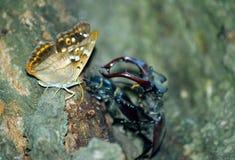 Emperador púrpura de la mariposa y escarabajos de macho escarabajos de macho en un par del bosque del roble de escarabajos de mac fotos de archivo libres de regalías