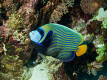 Emperator angelfish (Pomacanthus imperator) Stock Photography