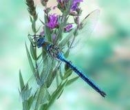Empereur bleu d'imperator d'Anax de libellule (mâle) Photos stock